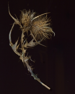 Winter Thistle, Dodder
